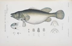 Murray cod (Maccullochella peelii)  Caught and Coloured: Freshwater Fisheries museumvictoria.com.au