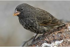 What are the Galapagos Islands Vampire Finch? Galapagos Islands, Small Birds, Beautiful Creatures, Wildlife, Nature, Animals, Mad Science, Finches, Beauty