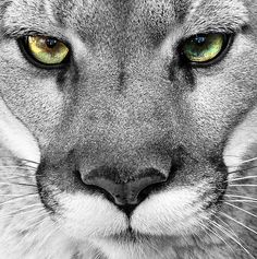 Mountain Lion in black and white