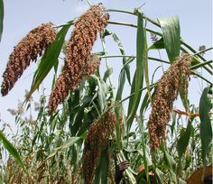Sorghum plant Millet Plant, September Flowers, West African Food, Organic Matter, New Opportunities, Horticulture, Egyptian, Fields, Harvest