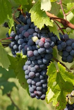 Syrah (also known as Shiraz) is a dark-skinned grape used to make red wine in many regions throughout the world.  #primewine #winelovers #wine #syrah #shiraz