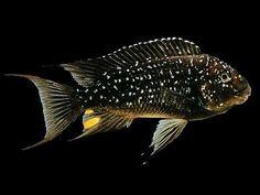 Tropical Fish Aquarium, Freshwater Aquarium Fish, Saltwater Aquarium, Cichlid Aquarium, Cichlid Fish, Malawi Cichlids, African Cichlids, Underwater Creatures, Underwater Life