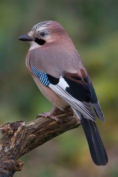 gaai in Kwadijk. Cute Birds, Pretty Birds, Exotic Birds, Colorful Birds, Beautiful Creatures, Animals Beautiful, Most Beautiful Birds, Australian Birds, Tier Fotos