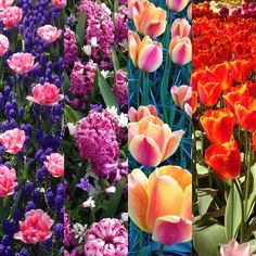 Sea of flowers #tulips  #keukenhof  #fleurs  #holland  #thenetherlands  #europe  #paysbas  #field  #tulipes #printemps  #travel  #trip  #weekend  #hollande #veganonholidays  #colors #spring  #sunny  #fun  #happy by cristel.v