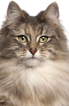 The Norwegian Forest cat is a very old natural breed, that has a long, bushy, nearly waterproof coat appropriate to the brisk climate of Norway.