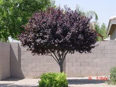 Krauter Vesuvius Flowering Plum Tree - Beautiful purple-black leaves with showy pink flowers in spring. Nice contrast element in any landscape! Purple Leaf Plum Tree, Purple Trees, Backyard Trees, Garden Trees, Backyard Plants, Trees And Shrubs, Trees To Plant, Flowering Plum Tree, Desert Trees