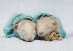 Top 10 des photos de rats avec leur doudou, l'instant tendresse des rongeurs