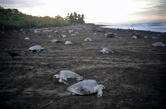 It's not Global Warming that is causing the extinction of the Sea Turtle.