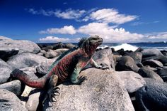 Marine Iguana on Espanola Central America, South America, Iguana Tattoo, Marine Iguana, Habitat Destruction, Green Iguana, Ecuador, Habitats, Wildlife