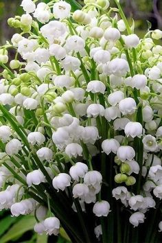 Lily of the Valley Flowers Amazing Flowers, White Flowers, Beautiful Flowers, Flowers Nature, Lily Of The Valley Flowers, Moon Garden, Flower Aesthetic, White Gardens, Flower Wallpaper