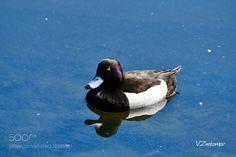 Duck (Vladislav Znakomov / Mосква / Россия) #nikon D500 #animals #photo #nature