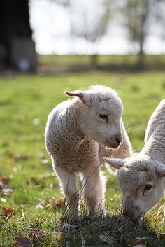 Baby lambs are born
