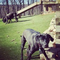 #rescuedog #canecorso ##whataday #doglife
