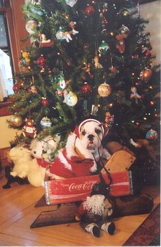 Christmas bulldog.