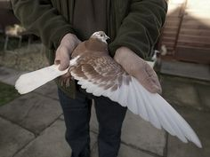 """""""The roller pigeon turns over backward with inconcievable rapidity for considerable distances.""""    William Pensom"""