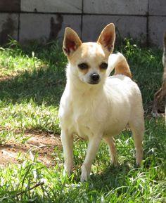 31 Ideas De Hermosos Chihuahuas Chihuahua Perros Perritos Chihuahuas