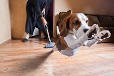 Your #Dog may Not like You using a #Vacuum on #Hardwood #Floors, But You will Love it! The kind of Vacuum you should use on #HardwoodFloors in Today's Article: http://blog.georgiacarpet.com/2013/10/23/finding-the-perfect-vacuum-for-hardwood-floors/