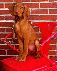 Vizsla - good dog to consider
