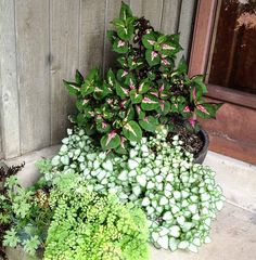 End of Season Planter ~ Favorite Shade Loving Plants ~ When it comes to planting my large front porch container I tried a few different variations. My all time favorite is Lamium. This little guy grows with out Planters For Shade, Full Shade Plants, Shade Garden Plants, Patio Plants, Cool Plants, Outdoor Plants, Plants Indoor, Potted Plants, Front Porch Garden