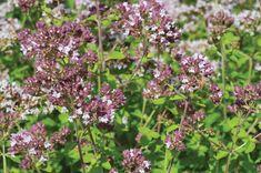 Η μαντζουράνα έχει πολλά οφέλη για την υγεία Herbs, Plants, Herb, Plant, Planets, Medicinal Plants