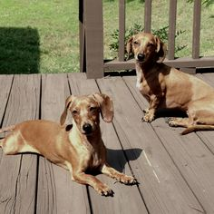 My little Tennessee porch hounds.