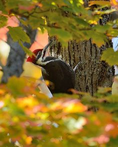 Saw one of these Pileated woodpeckers having the best breakfast in America at White Gull Inn