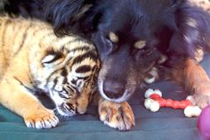 Dog Adopts Tigers Cubs After Their Mother Ignored Them - http://viralfeels.com/dog-adopts-tigers-cubs-after-their-mother-ignored-them/