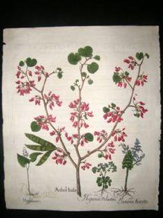 Besler 1613 LG Folio Hand Colored Botanical Print. Arbor Iudae