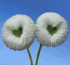 Daisy – World of Flowers Unusual Flowers, Amazing Flowers, Beautiful Flowers, White Flowers, Rare Flowers, Heart In Nature, Heart Art, I Love Heart, Fire Heart