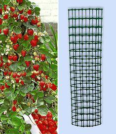 Kletter-Erdbeere 'Hummi®' und Dekorativer Rankturm