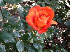 #flores #rose #orange #no #filter