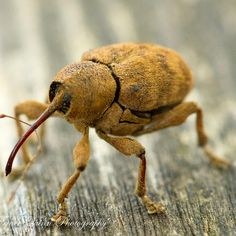 Curculio glandium is a species of weevil known as the acorn weevil. Its most striking feature is its elongated snout, known as a 'rostrum', which is longer in females than males. Adults have a brownish and patterned body.
