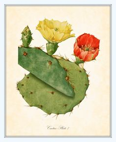 Vintage Botanical Art Print Flowering Cactus Series 2 Plate 7 Art Print 8 x 10. $10,00, via Etsy.