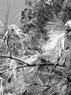 """Long Leaf Pine Frost"" photo by Lori Harris,  Bear Grass, NC"