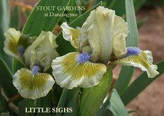Iris LITTLE SIGHS – Stout Gardens at Dancingtree