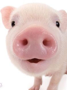 Admit it, you just let out an audible AWWW! Cute Baby Pigs, Baby Piglets, Cute Piglets, Cute Funny Animals, Cute Baby Animals, Cute Dogs, Funny Pigs, Mini Pigs, Pet Pigs