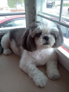 #shihtzu #dogs with interesting short clip