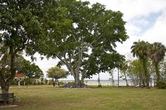 Mysore Fig Tree by The Beaches of Fort Myers & Sanibel, via Flickr