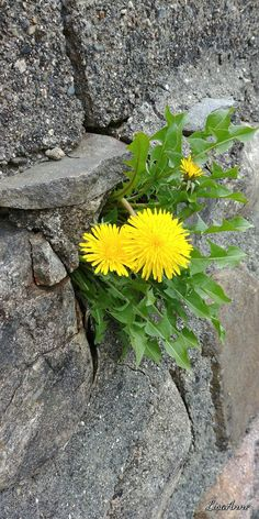 Some people looking at this would only see a weed, I see the the unstoppable persistence of nature! Rock Flowers, Flowers Nature, Exotic Flowers, Yellow Flowers, Colorful Flowers, Wild Flowers, Beautiful Flowers, Beautiful Things, Bloom Where Youre Planted