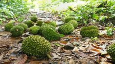 You've decided you need more durian in your life. Figuring out if you can plant a durian tree of your very own. Durian Tree, Home Grown Vegetables, Agriculture Farming, Organic Fruit, Exotic Fruit, Southeast Asia, Afternoon Tea, Harvest, Garden