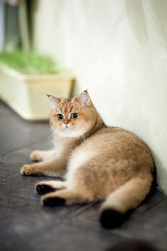 Myata, cats, bri cats, british shorthair, ny 25, british golden cat, golden ticked cat, golden shaded cat
