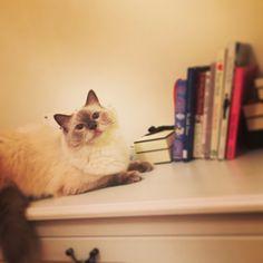 I am a reader#cats #kitten #lovecats #ragdoll #chinchilla #Persian #kitten #meow #lovecat