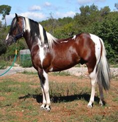Pinto horses   Pinto Horse THANK YOU LORD JESUS, FOR SUCH A WONDERFUL SIGHT.