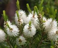 Tea Tree Oil When There Is No Medicine, by B.R. in San Diego » The Homestead Survival