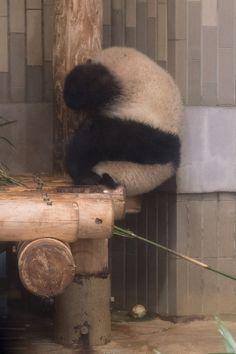 今日のパンダ(2143日目)   毎日パンダ