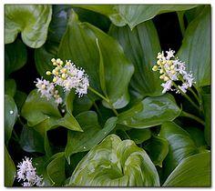 Maianthemum dilatatum - BEADRUBY