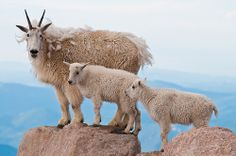Family Photo Time ~ A Mountain Goat Nanny and Kids pause for a few captures near the top of Mount Evans above Idaho Springs, Colorado.