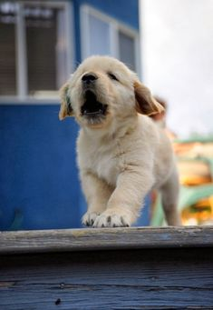 5 interesting facts about labrador retrievers, click the pic to know :)