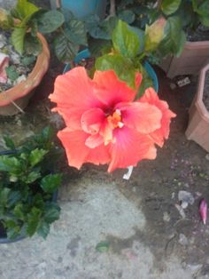 Hibiscus at my home