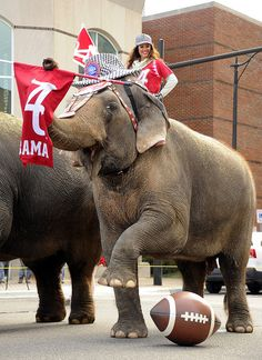 When Ringling Bros come to Birmingham they always parade the elephants through town. Today they stopped in front of the SEC offices and Hall of Fame to celebrate Alabama's 15th National Championship. Roll Tide!!!